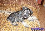 Цвергшнауцера щенок