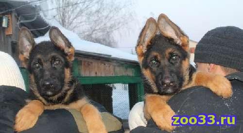 Элитные щенки немецкой овчарки - Фото 1
