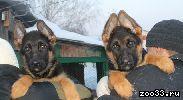 Элитные щенки немецкой овчарки