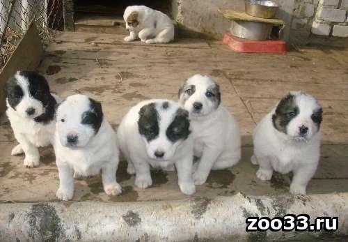 Продам щенков среднеазиатской овчарки недорого - Фото 1