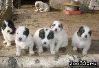 Продам щенков среднеазиатской овчарки недорого