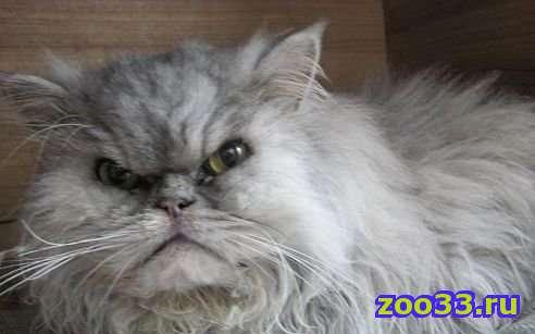 Отдаем персидского котика в хорошие ручки (даром) - Фото 1