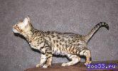 бенгальский котенок, кошечка, черная розетка на золоте