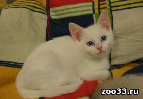 ангорские котята - Фото 1