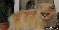 Персидский котик в хорошие ручки (даром)