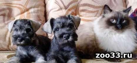 Цвергшнауцера щенок - Фото 1