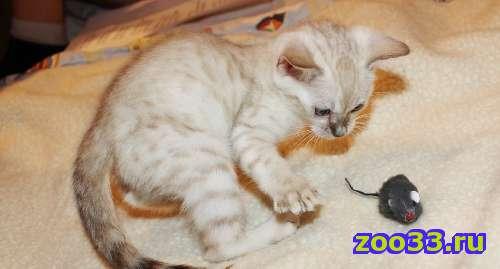 Бенгальские котята снежного окраса - Фото 1