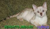 Бенгальские котята снежного окраса