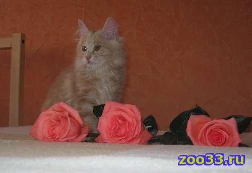 Котик Курильского ботейла от элитных родителей - Фото 1