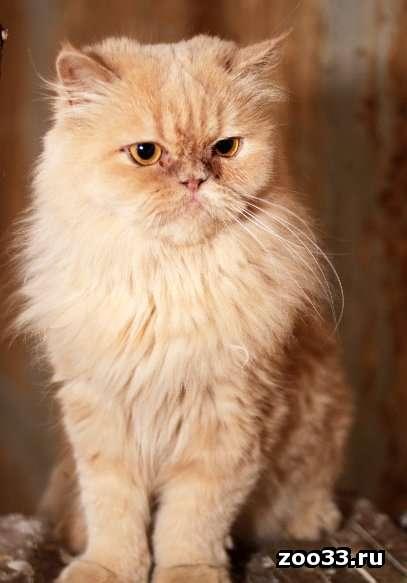 Персидский котик в хорошие ручки - Фото 1