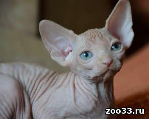 канадский сфинкс котик и кошечка - Фото 1