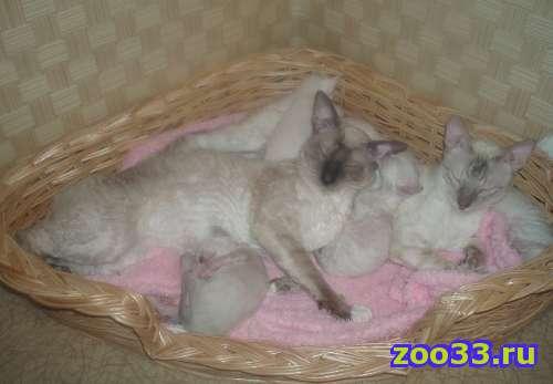 Котята породы корниш-рекс - Фото 1