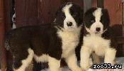 Алабаи щенки