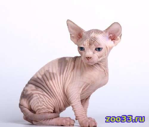 Канадский сфинкс котёнок кошечка - Фото 1