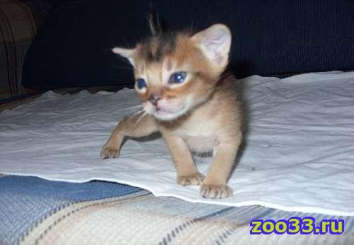 Абиссинские котята - Фото 1