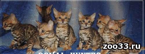 """Бенгальские котята из питомника """" Royal Hunter"""" - Фото 1"""