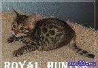 """Бенгальские котята из питомника """" Royal Hunter"""""""