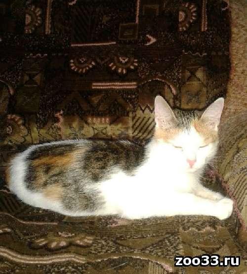 Котенка-трехцветочку отдаю в заботливые ручки - Фото 1