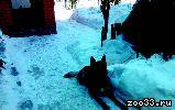 Немецкая овчарка - кобель, кличка Каро, 4 года, окрас черная спина, черный хвост, лапы, живот, частично уши и морда рыжие, темно-коричневый.. .