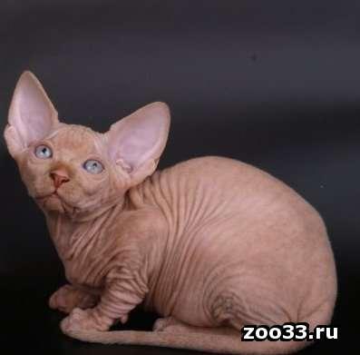 котик канадский сфинкс - Фото 1