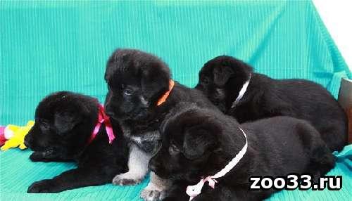 продам шикарных щенков ВЕО - Фото 1
