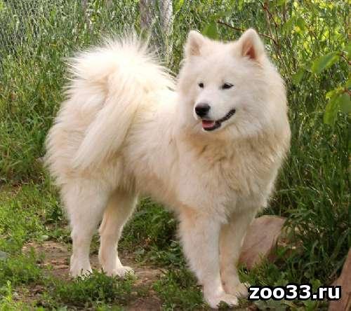 Самоедской лайки щенков – белых пушистых медвежат - Фото 1