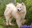 Самоедской лайки щенков – белых пушистых медвежат