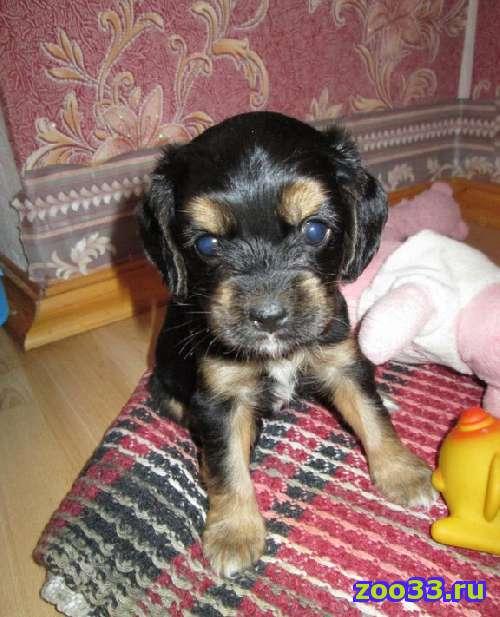 Продам щенка мини породы (возраст 1 мес) - Фото 1