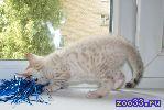бенгальский котенок, кошечка, снежного пятнистого окраса, яркая