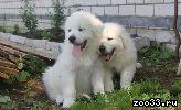 Пиренейская горная собака(мастиф)
