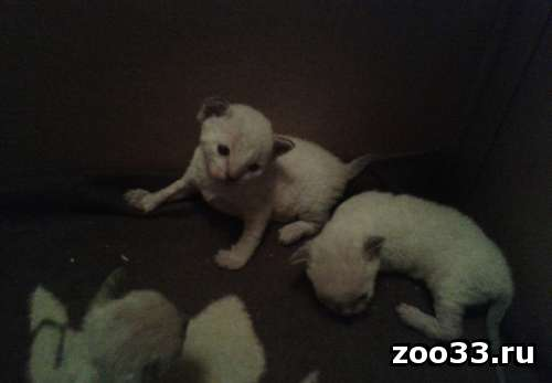 Очаровательные котята корниш-рекс - Фото 1