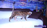 Бенгальские котята питомник Baliro WCF