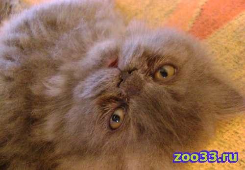 Продажа персидских котят - Фото 1