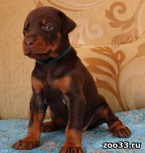 Продаются щенки добермана - Фото 1