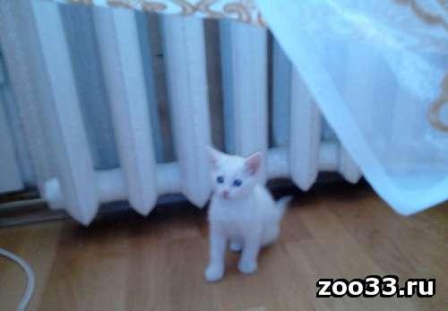 отдам в хорошие руки белую кошечку - Фото 1