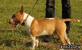 Питомник предлагает подрощенного щенка миниатюрного бультерьера