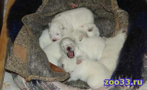 Белоснежные щеночки самоедской собаки! - Фото 1