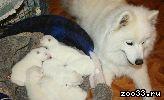 Белоснежные щеночки самоедской собаки!