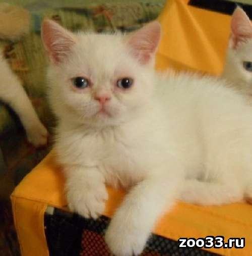 белые котята с голубыми глазами - Фото 1