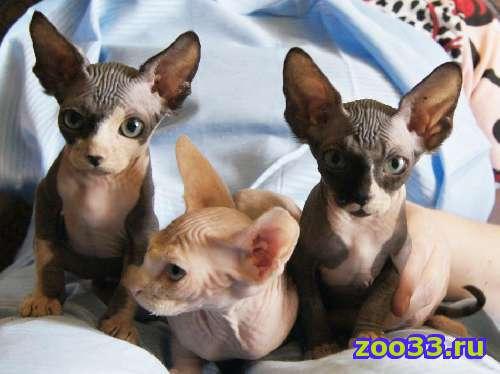 Продам котят-мальчиков канадского сфинкса - Фото 1