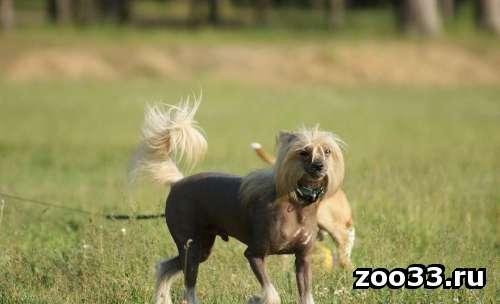 Питомник предлагает для вязки титулованного кобеля китайской хохлатой собаки - Фото 1