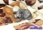 Продаю маленькую принцессу (кошечка) канадский сфинкс