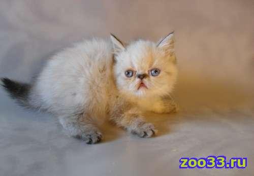 персидские и экзотические котята - Фото 1