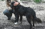 Собака бордер колли