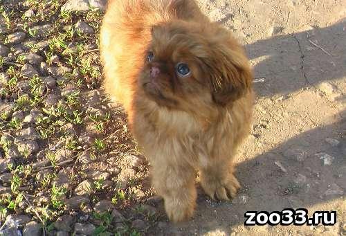 Продам щенка пекинеса - Фото 1