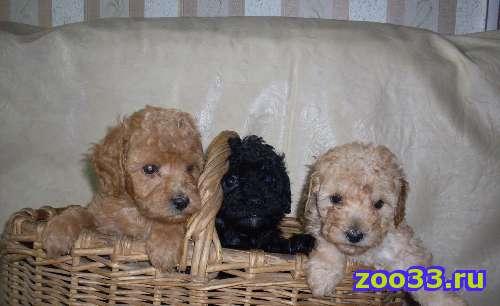 Продаются щенки мини карликового пуделя - Фото 1