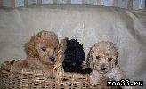 Продаются щенки мини карликового пуделя