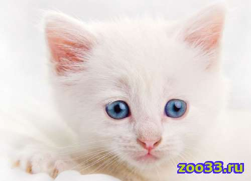 Ангорский котенок - Фото 1