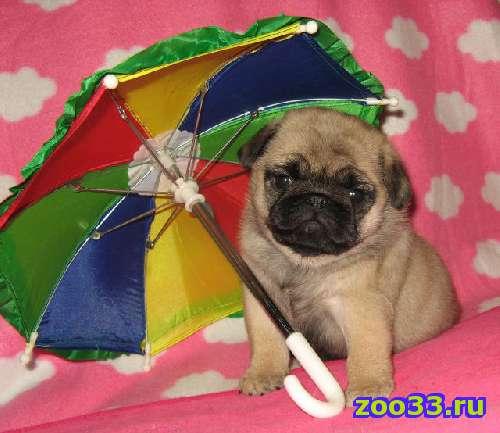продается очаровательный щенок мопса - Фото 1