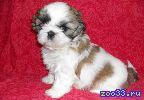 Ши-тцу очаровательные щенки